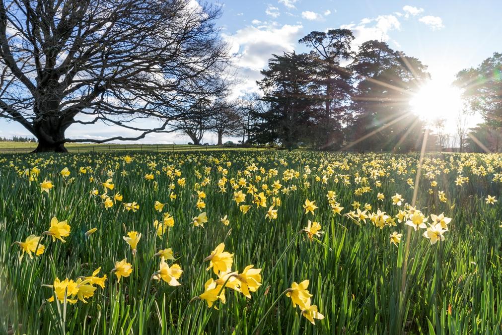 Daffodil Field, Otahuna Lodge Gardens Review