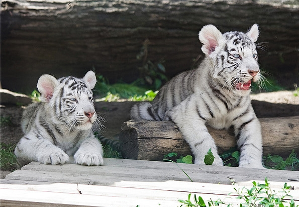 Bengali Tigers, Moscow Zoo, Russia