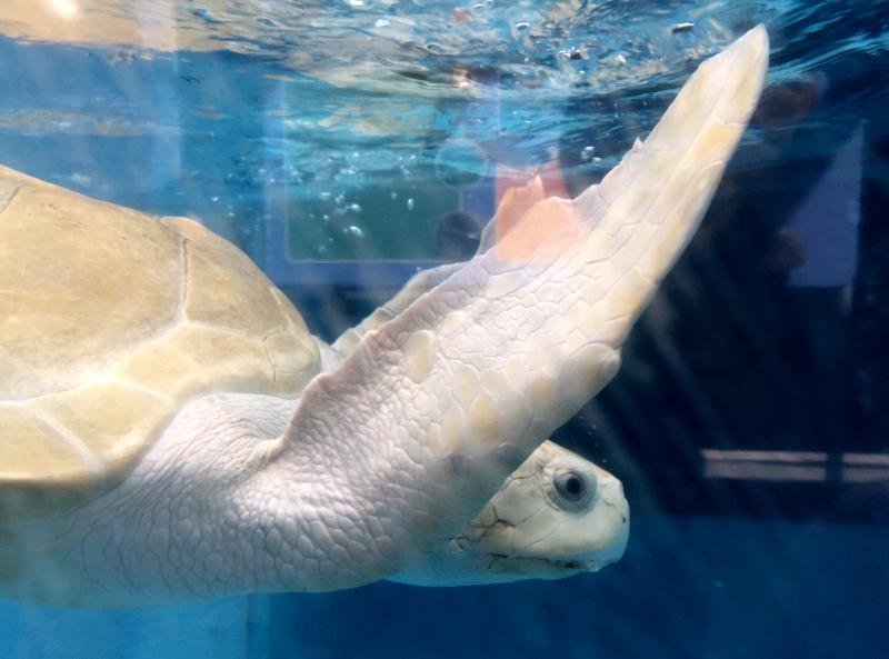 Turtle, Mote Aquarium Sarasota Review