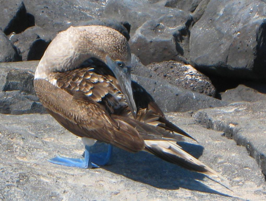 Galapagos Blue Footed Booby