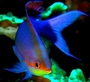 Square_anthias-wakatobi-indonesia-jennyhuang