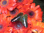 Square_butterfly_garden_singapore_changi_airport-black_blue_butterfly_red_flowers