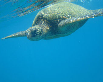 Featured_maui_snorkel_charters_review-molokini-hawaiian_green_sea_turtle