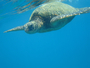 Square_maui_snorkel_charters_review-molokini-hawaiian_green_sea_turtle