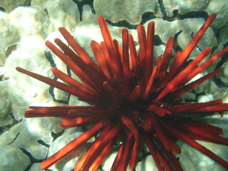 Red Slate Pencil Sea Urchin, Molokini Snorkeling with Maui Snorkel Charters