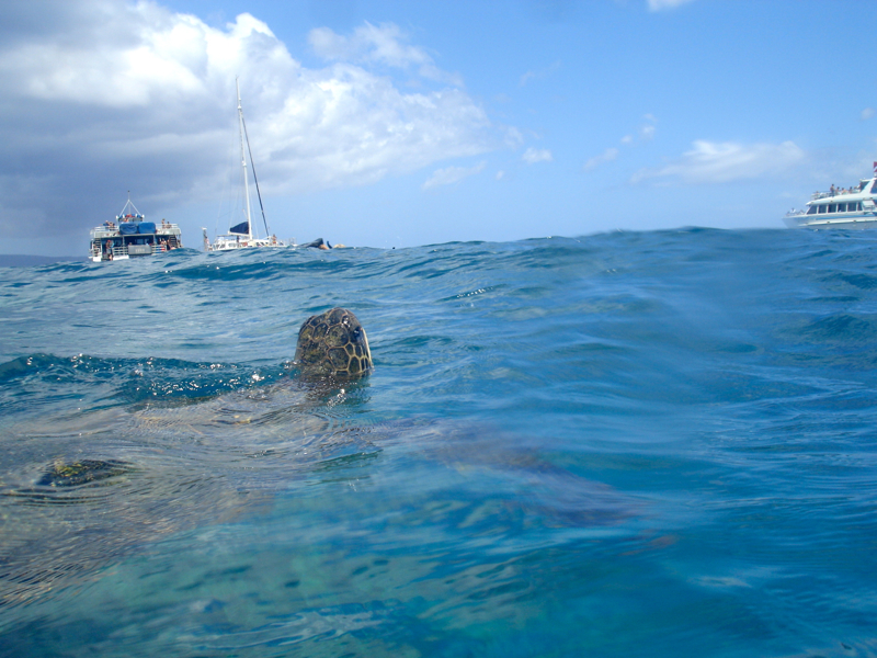 Green Sea Turtle on Snorkeling Trip with Maui Snorkel Charters