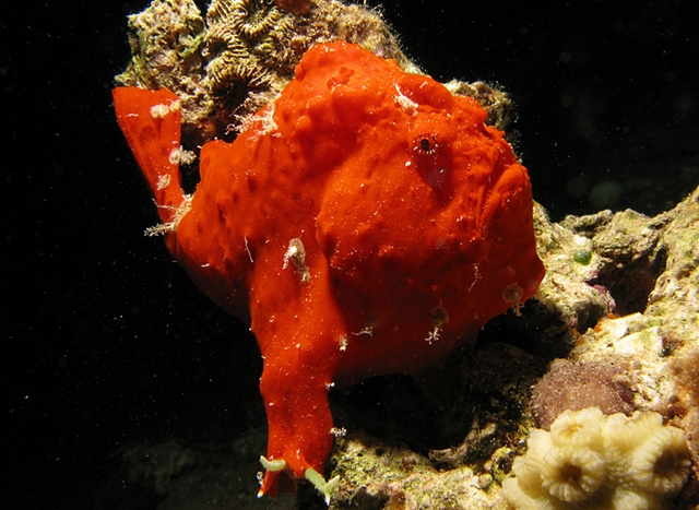 Frogfish-Diving in Dominica
