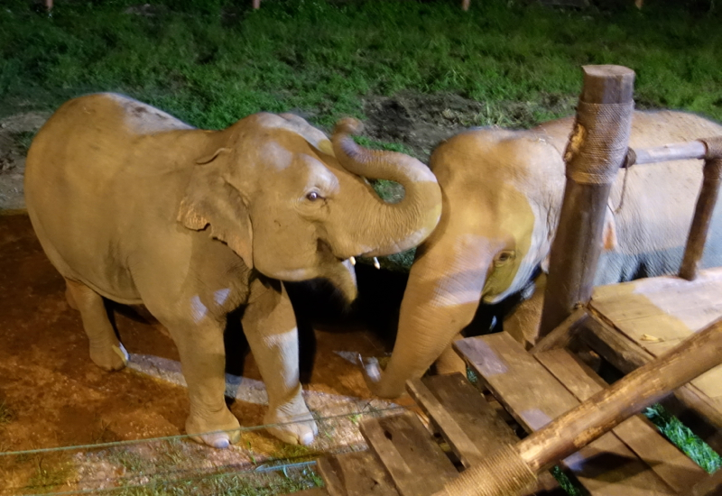Anantara Golden Triangle Dining by Design - Elephants Socializing