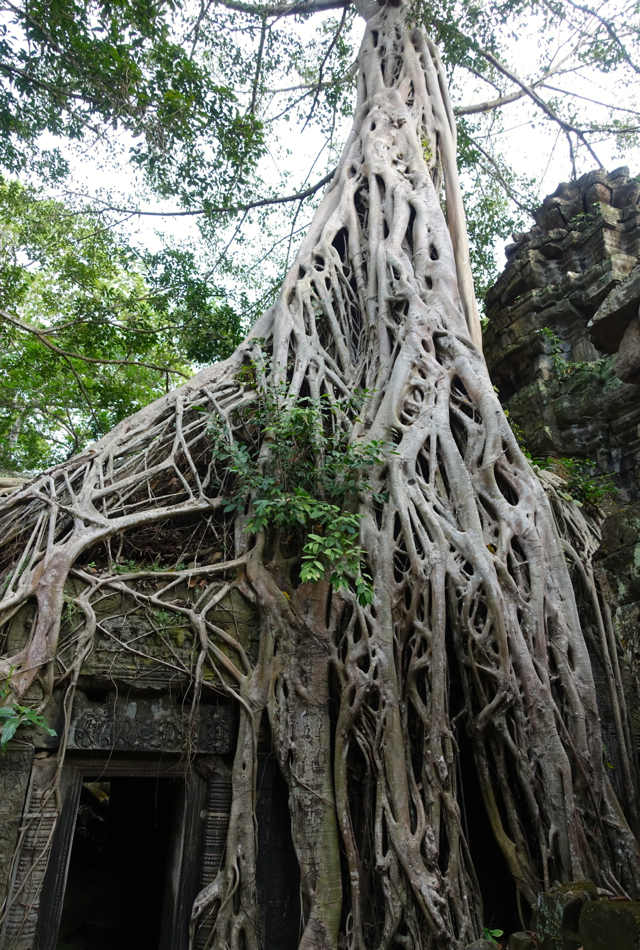 Intricate Web of Tree Roots, Ta Prohm Temple