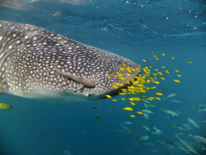 Best Places to Swim with Whale Sharks - Seychelles