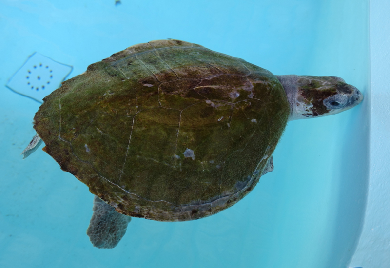 Four Seasons Landaa Giraavaru Activities-Things to Do-Rescued Turtle at Marine Discovery Center