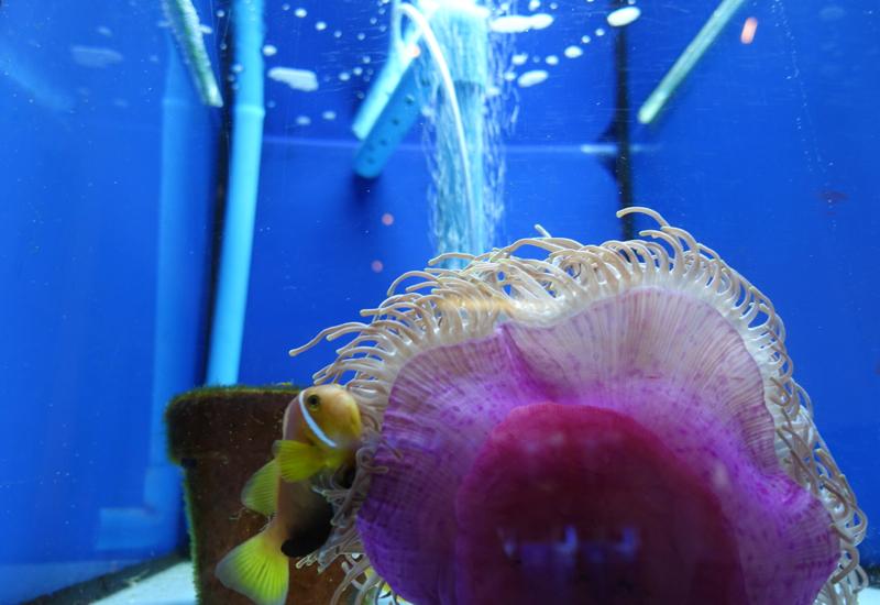 Four Seasons Maldives at Landaa Giraavaru Things to Do: Clownfish at Marine Discovery Center