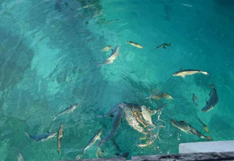Fish Feeding Frenzy, Four Seasons Landaa Giraavaru
