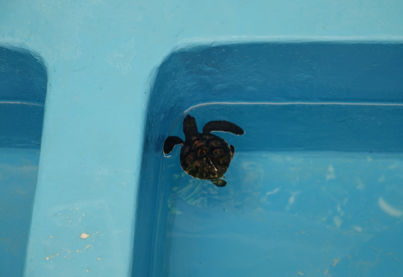Turtle Hatchling at Marine Discovery Center, Four Seasons Maldives at Kuda Huraa