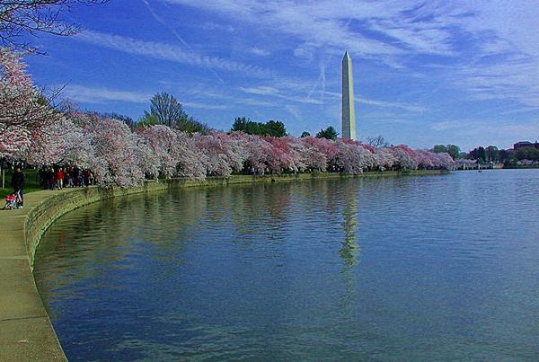 Washington Monument and Cherry Blossoms, Washington DC