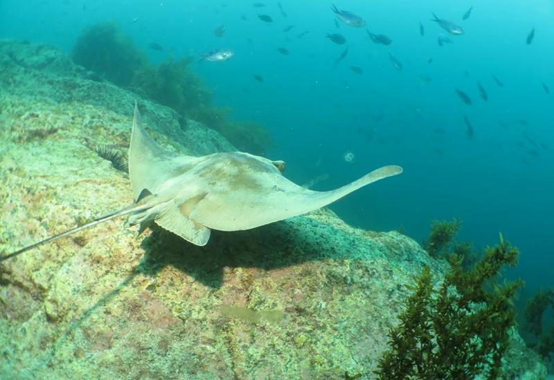 Eagle Ray, Paihia Dive, New Zealand