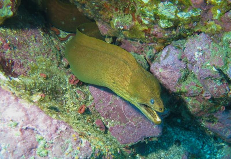 Moray Eel, Paihia Dive, New Zealand