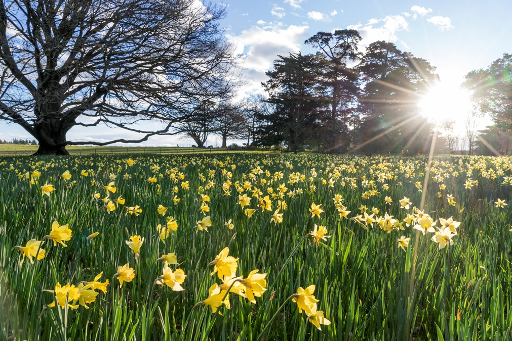 Daffodil Field, Otahuna Lodge Gardens Review