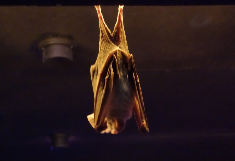 Ghost Bat, Featherdale Wildlife Park Review