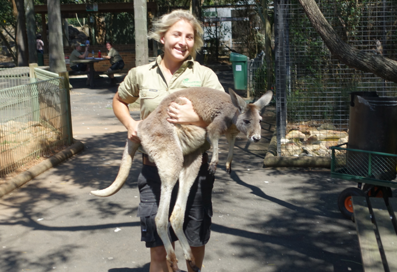 Returning the Escaped Kangaroo, Featherdale Wildlife Park Review