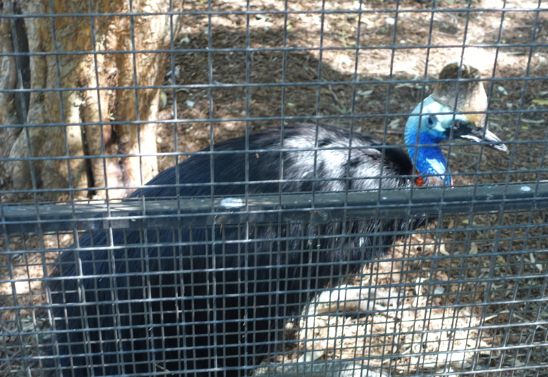 Southern Cassowary, Featherdale Wildlife Park Review