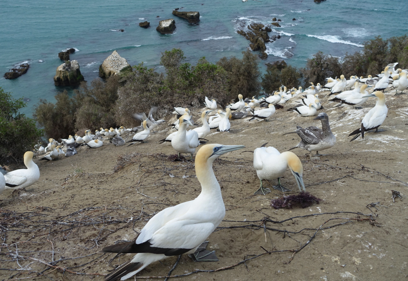 The Gannet Colony, The Farm at Cape Kidnappers
