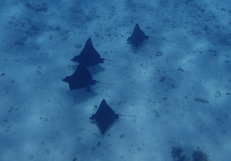 Eagle Rays, Bora Bora Snorkeling Tour with Pure Snorkeling Review