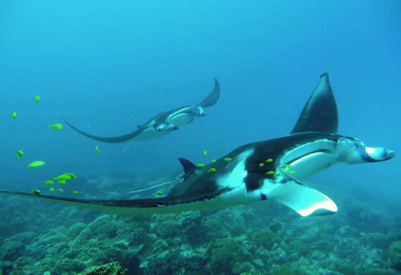 Manta Rays in Bora Bora
