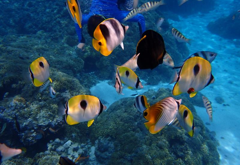 Teardrop Butterfly Fish, Pure Snorkeling Review, Bora Bora