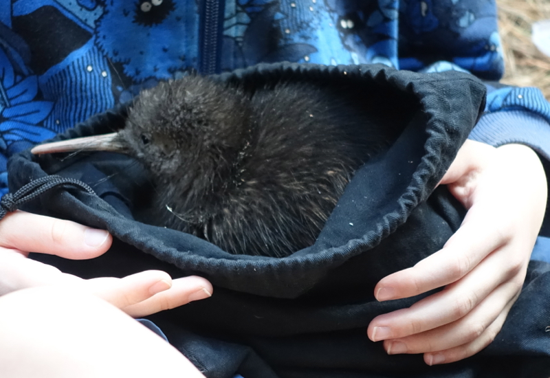 Close-Up of Suave, a Baby Kiwi, Cape Sanctuary