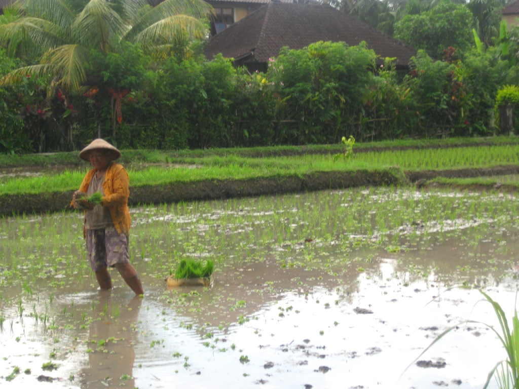Farmer Harvesting Rice, Ubud