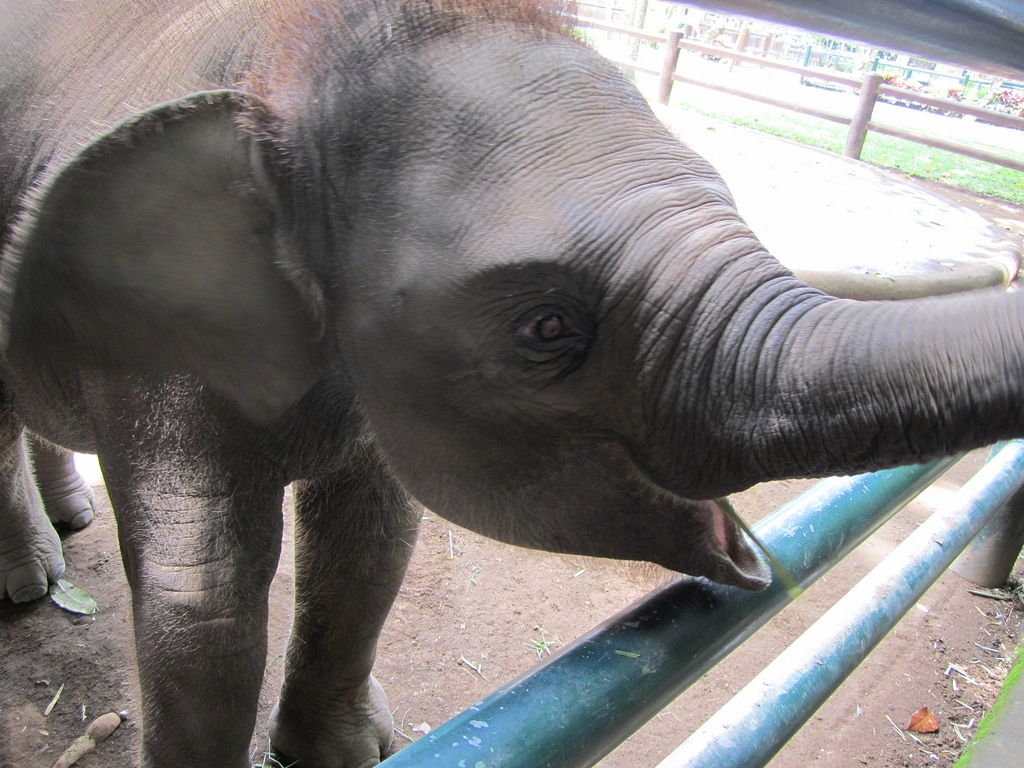 Baby Elephant at Elephant Safari Park