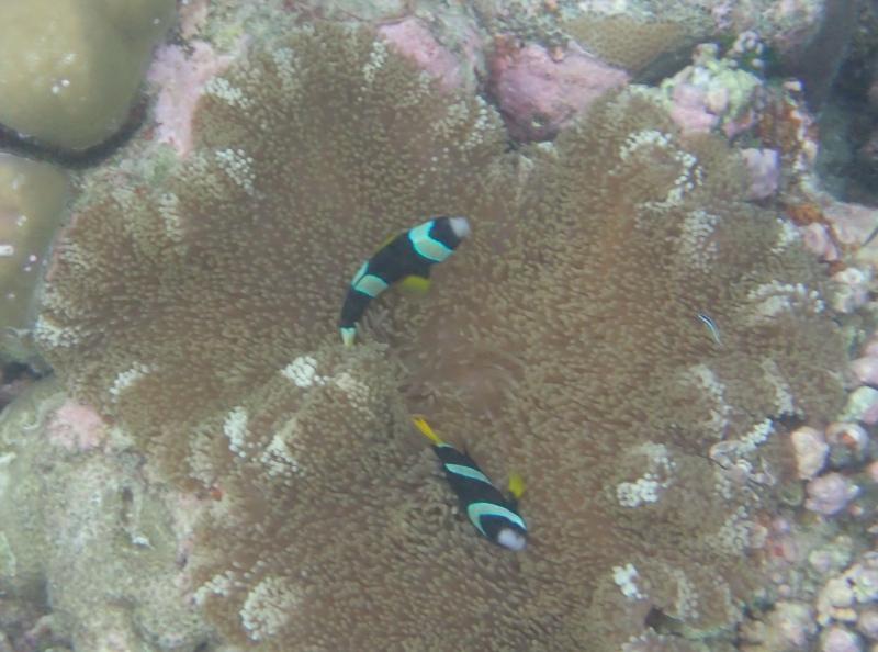 Clarke's Anemone Fish (Clownfish), Cheval Blanc Randheli Snorkeling