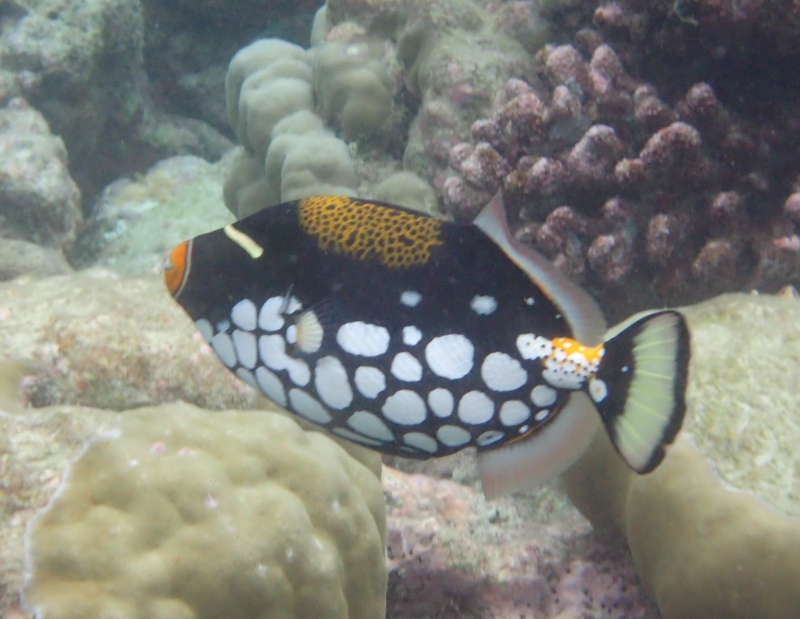 Clown Trigger Fish, Cheval Blanc Randheli, Maldives