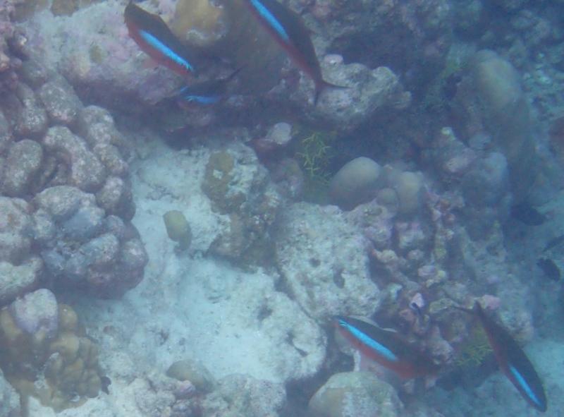 Neon Fusilier Fish, Snorkeling atCheval Blanc Randheli, Maldives