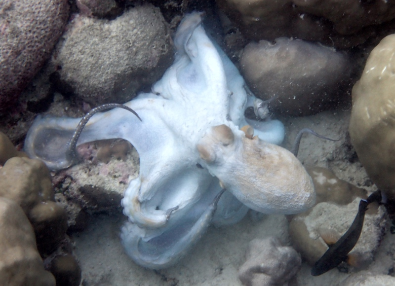 Snorkeling with an Octopus, Cheval Blanc Randheli, Maldives