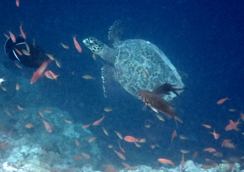 Turtle, Snorkeling at Cheval Blanc Randheli, Maldives