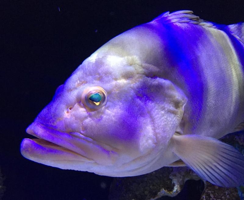 White Grouper, Mote Aquarium Sarasota Review
