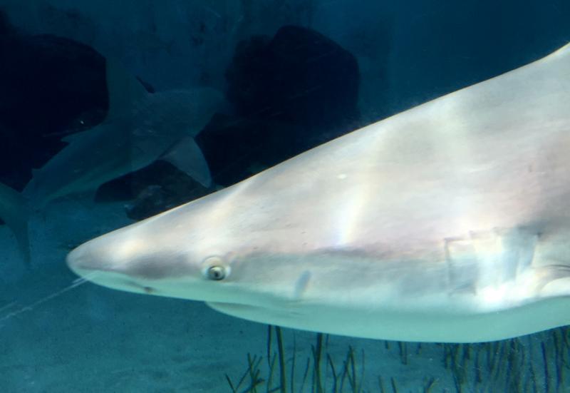 Sandbar Shark, Mote Aquarium Sarasota Review
