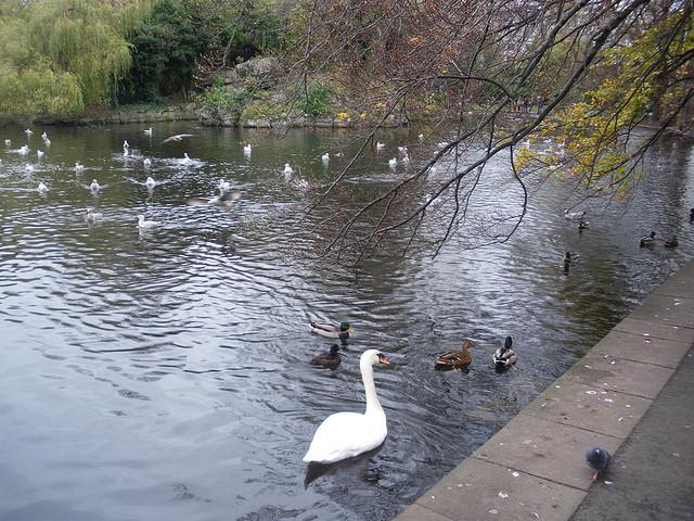 Feed the ducks at St. Stephen's Green, Dublin