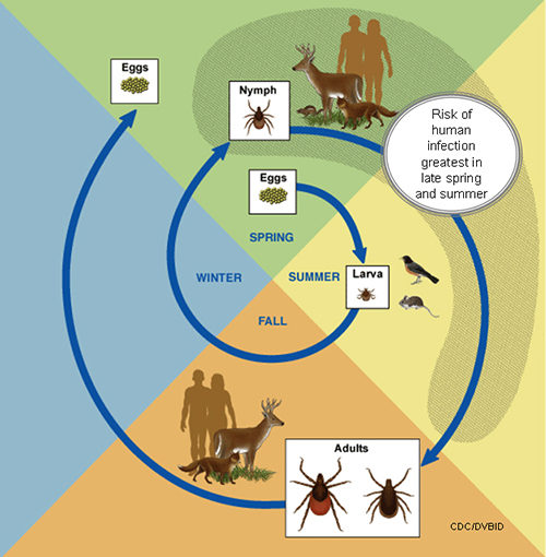 Lyme Disease: Tick Lifecycle