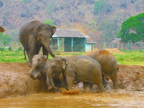 Elephants at Elephantstay, Ayutthaya Thailand