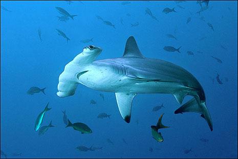 Hammerhead sharks, the Galapagos