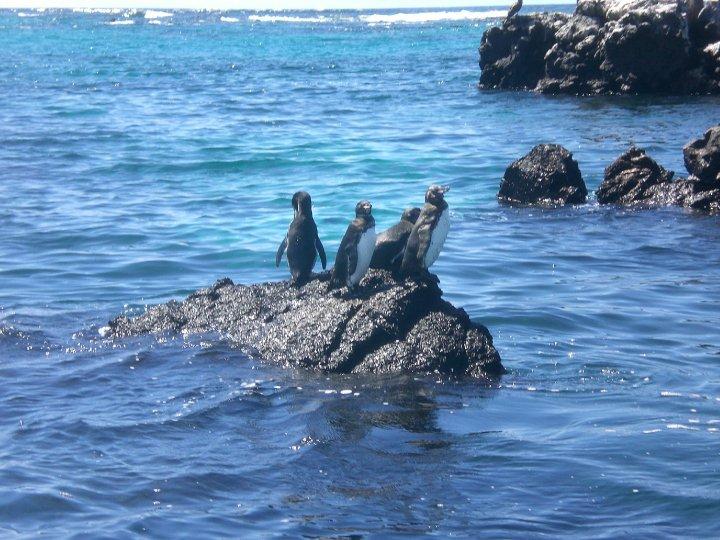 Penguins, Galapagos Islands