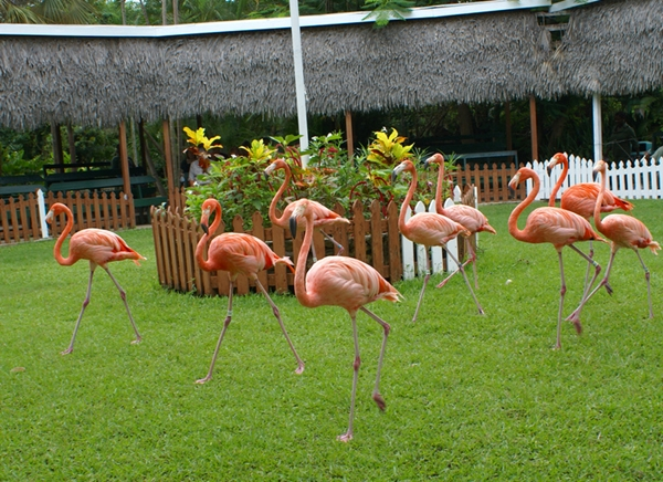 Trained flamingos marching at Ardastra Gardens and Zoo, Nassau Bahamas