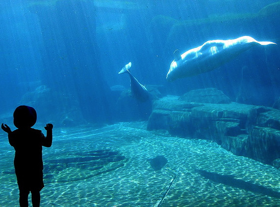 Vancouver Aquarium with Kids - Beluga Whale
