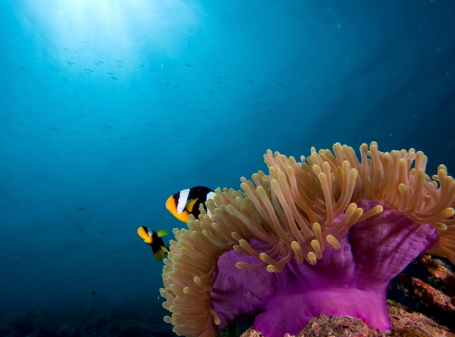 Park Hyatt Maldives Diving and Snorkeling - Clownfish Anemonefish