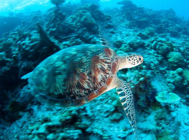 Park Hyatt Maldives Diving and Snorkeling - Hawksbill Turtle