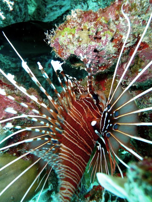 Park Hyatt Maldives Diving and Snorkeling - Lionfish