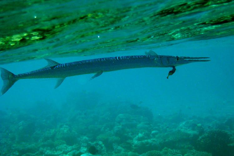 Park Hyatt Maldives Diving and Snorkeling - Needlefish